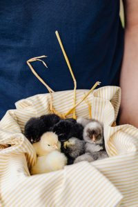 What Should You Do When Your Chicks Arrive In the Mail? #heatherearles #babychicks #raisingchicks #herbnwisdom #naturalliving #northerngirl #author
