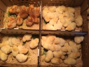 baby chicks in shipping box