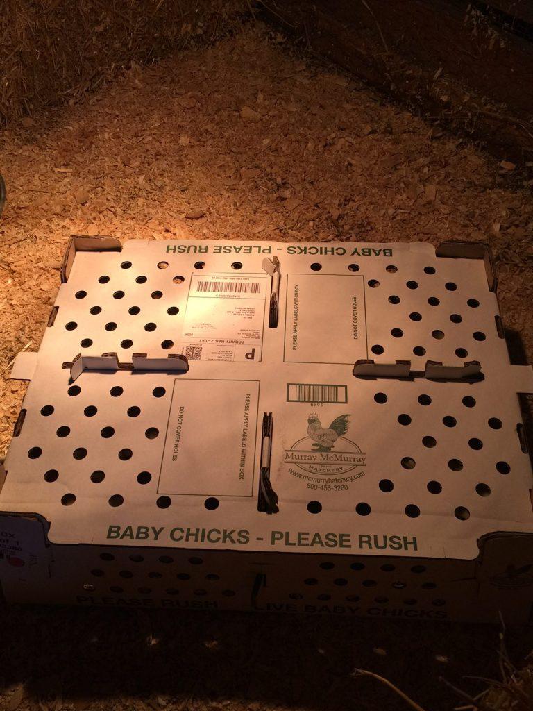 baby chicks shipping box