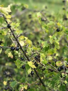 crandall currant berries