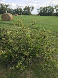 crandall currant bush