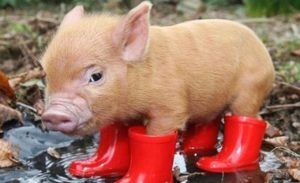 baby pig in spring