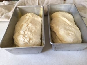 bread rising in loaf pans
