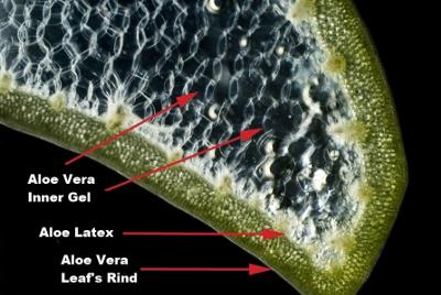 What is in the inside of an Aloe Vera leaf? #HeatherEarles #aloevera #juicing #naturalmedicine #herbnwisdom